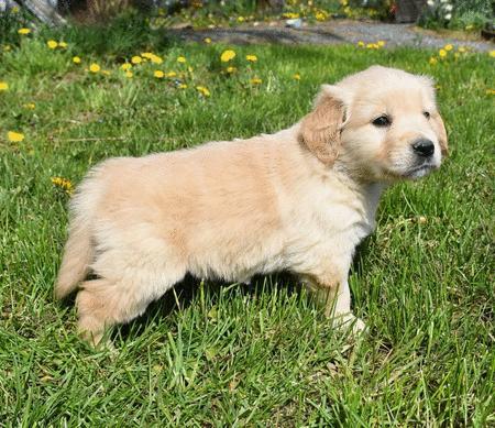 Achat : Magnifique golden retriever  (Autres races d'animaux) - Autres races d'animaux neuf et d'occasion - Achat et vente